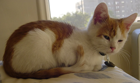 Orange and white kitten sitting on the bed.