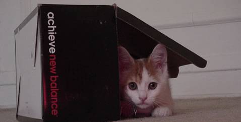 Orange and white kitten playing in a New Balance shoebox.