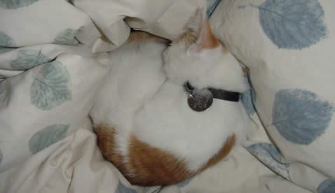 Orange and white kitten balled up asleep on a blanket.
