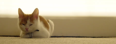 Orange and white kitten sitting. Carpet level view.