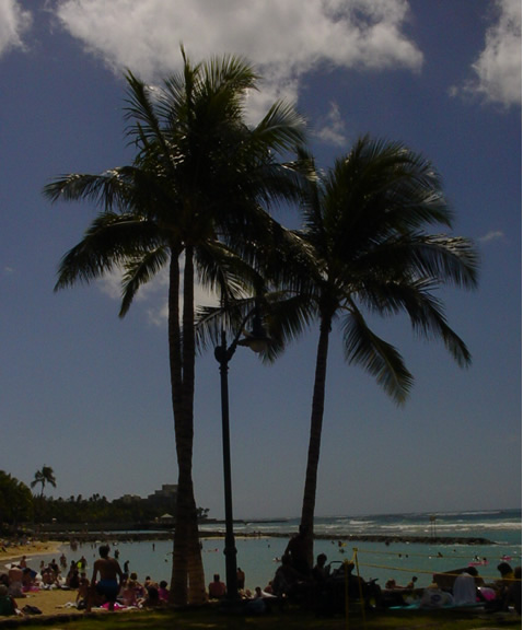 Coconut trees on the Waikiki beach.