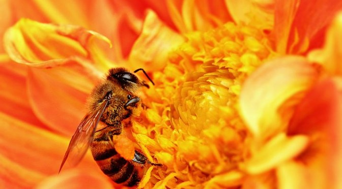 714px-Honey_Bee_takes_Nectar
